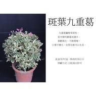 心栽花坊-斑葉九重葛/7吋/綠化植物/售價200特價180