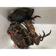 Premium Live Indonesia Meaty Mud Crab (3 sizes)