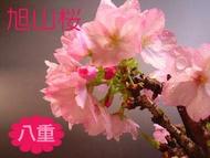2020年4月中間開花的花蕾有,變得沒有旭山櫻花樹苗櫻花苗普通的櫻花太大的櫻花的苗園藝樹木八重盛開落葉樹 Giftshop Nagashima
