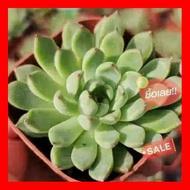 SALE !!ราคาพิเศษ ## Echeveria Texensis Rosea กุหลาบหินนำเข้า ไม้อวบน้ำ Live Succulents Plant ##เมล็ดพรรณและต้นไม้seed tree