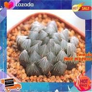 [ ราคาถูกที่สุด ลดเฉพาะวันนี้ ] Haworthia Yamada Black Obtusa 3 Inch กุหลาบหินนำเข้า ไม้อวบน้ำ [ New Special Price!! ]