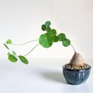 ไม้อวบน้ำ | บัวบกโขด (Stephania erecta Craib)