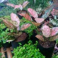 tanaman hias aglaonema kirana / aglaonema ruby kirana