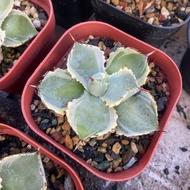 王妃甲蟹覆輪 agave 龍舌蘭 多肉植物