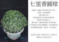 心栽花坊-七里香/細葉七里香/圓球/寬30cm/波波球/綠籬植物/圓球/造型樹/特售/售價360特價300