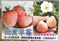 [日本水蜜桃草莓盆栽 桃薰草莓苗 粉白草莓盆栽] 5-6寸盆 新品種草莓苗 ~季節限定~ 先確認有沒有貨再下標!