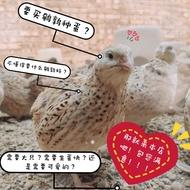 【COD】Shawifa giant African black quail fertilized eggs can hatch fertilized eggs meat quail breeding