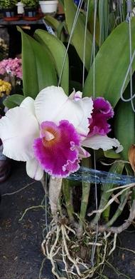 ต้นกล้วยไม้ แคทลียา (Cattleya) ราชินีแห่งกล้วยไม้ ส่งต้นที่พร้อมให้ดอก ดอกม่วงขาว ออกดอกตลอด เลี้ยงง่าย จัดส่งพร้อมกระถาง 4 นิ้ว