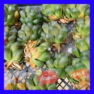 SALE !!ราคาพิเศษ ## Haworthia Obtusa Suisho G succulents กุหลาบหินนำเข้า ไม้อวบน้ำ ##เมล็ดพรรณและต้นไม้seed tree