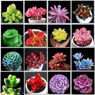 พืชอวบน้ำ เมล็ดพืชอวบน้ำ Succulent Plant Seeds Mix Seeds สามารถปลูกได้ทั่วประเทศไทย เมล็ดพันธุ์ plants ต้นไม้ตกแต่ง ไม้ดอก พันธุ์ไม้หายาก พันธุ์ไม้ดอก เมล็ด ต้นดอกไม้ พันธุ์ดอกไม้ ของตกแต่งในสวน แต่งสวน ตุ๊กตาแต่งสวน ไม้ประดับ ต้นไม้ประดับสด