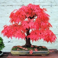 20pcs  bonsai blue maple tree seeds Bonsai tree seeds