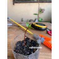 Laurel/Bay leaf Seeds (per seed)