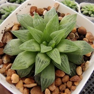 New Arrival สินค้าใหม่ พึ่งนำเข้า Haworthia Turgida G succulents กุหลาบหินนำเข้า ไม้อวบน้ำ