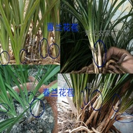 Orchid seedlings Luzhou-flavor nine-headed cymbidium Chunlan flowers without buds are easy to live in potted plants
