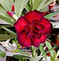[ 紅色系重瓣沙漠玫瑰花盆栽] 5吋盆複瓣沙漠玫瑰盆栽 ~有花苞的優先出貨~ 多年生觀賞花卉盆栽~ 室外半日照佳