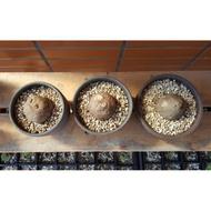 圓葉山烏龜+紫砂盆+日本多肉專用土
