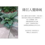 心栽花坊-綠巨人蔓綠絨/9吋/觀葉植物/室內植物/綠化植物/售價500特價420