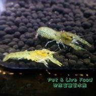 ●特薩努螯蝦【2-4cm】【對蝦】●【配來富觀賞水族】觀賞蝦-螯蝦~白螯 橘螯 佛羅里達藍螯(佛螯) 特薩努