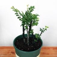 小葉紫檀盆景樹苗紫檀樹樁室內陽臺盆栽花卉綠植耐寒四季常青植物