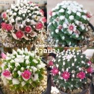 """กระบองเพชร แคคตัส (Cactus) แมมปุยหิมะ """"อิรุซามุ"""" (Mammillaria bucareliensis """"Erusamu"""") จัดส่งทั้งกระถาง ขนาด 2-4 cm"""