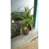 Coconut Tree Bonsai