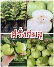 ต้นฝรั่งกิมจู รสชาติหวานกรอบเนื้อฟู ต้นพันธุ์ตอนกิ่งสูง 40-50 ซม.แข็งแรงพร้อมปลูก 6 เดือนติดผล รับประกันพันธุ์แท้ 100%