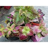 Coleus mayana live plant part 1