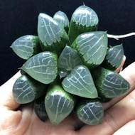 Haworthia Tsukikage 6-7cm กุหลาบหินนำเข้า ไม้อวบน้ำ Succulents (ไลทอป Lithops แคคตัส cactus กระบองเพชร)