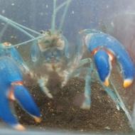 破壞者螯蝦(藍 10~11公分)