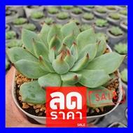 SALE !!สุดๆ ## Echeveria Chihuahuaensis (ชิวาว่า) 4 Inch Single Head กุหลาบหินนำเข้า ไม้อวบน้ำ G Succulents ##ต้นไม้และเมล็ดพันธุ์ดอกไม้