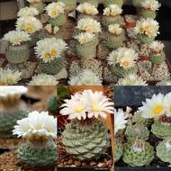 เมล็ด STROMBOCACTUS disciformis เมล็ดแคคตัส เมล็ดกระบองเพชร เมล็ดพันธุ์ กระบองเพชร แคคตัส Cactus seed