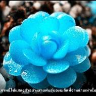 เมล็ดพันธุ์ ไม้อวบน้ำ Echeveria blue 20 เมล็ด