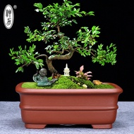 Bonsai Bonsai Tree Small Leaf Rosewood Red Maple Boutique Classical