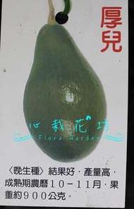 心栽花坊-厚兒酪梨/4吋/嫁接苗/水果苗/酪梨品種/售價500特價400