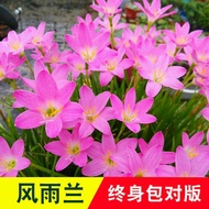✷Wind and rain orchid bulbs potted flowers onion blue chives orchid seedling plants blooming fresh and easy to live gree