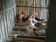 Anakan ayam bk aseel x shamo
