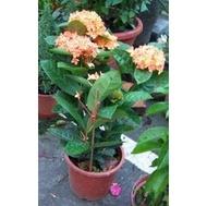 綠籬植物 ** 熊貓仙丹-橘黃色 ** 6吋盆/ 高30-40公分 / 花期幾乎全年【花花世界玫瑰園】R