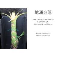 心栽花坊-地湧金蓮(地涌金蓮)(90cm有花)(限量)售價3000特價2000