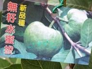 心栽花坊-水蜜芭樂/無籽水蜜芭樂/拔樂/芭樂/嫁接苗/8吋/水果苗/售價360特價300