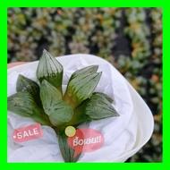SALE !!ราคาพิเศษ ## Haworthia Mutant Magnifica G succulents กุหลาบหินนำเข้า ไม้อวบน้ำ ##เมล็ดพรรณและต้นไม้seed tree