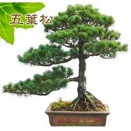 五葉松、盆栽、五葉松種子、松樹種子【振華育苗-挑戰網路最低價】