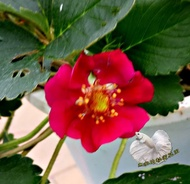 [紅花草莓盆栽 耐熱性佳草莓苗 花色跟普通草莓不一樣] 2.5-3寸盆 新品種草莓~季節限定~ 先確認有沒有貨再下標!