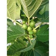 豐綠多 植物保護劑 預防病蟲害/殺蟲、殺菌、展著三效合一  超越 金桔力 農皂 窄域油