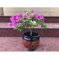 玄悟【九重葛(紫色斑葉(如意盆)】《美觀、療癒、造景、綠化、盆栽、會開花、植栽、玄悟藝樹》
