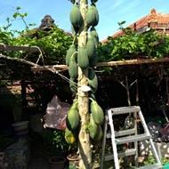 矮種量產多型新品種每棵生超過20粒木瓜超甜木瓜樹苗