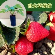 草莓苗 果大飽滿! 強勢品種 香水草莓苗 現貨供應中