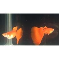 蝦米龍馬丸 白子 全紅白子  孔雀魚 飼料 花鱂科 Poecillidae 飼料