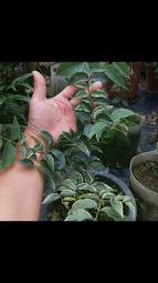 斑葉艾斯卡樹葡萄