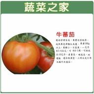 【蔬菜之家】G36.牛番茄種子(共有2種包裝可選)