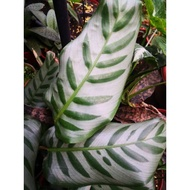"Calathea ""Bella"" /Calathea varieties/Limited stock"